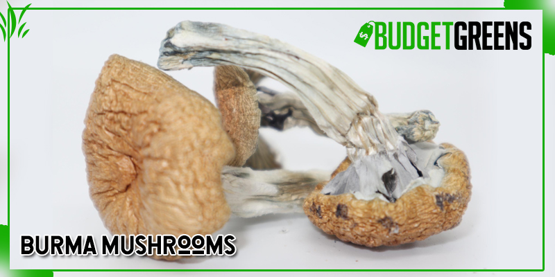 burma mushrooms